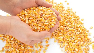 corn-1173816_1920